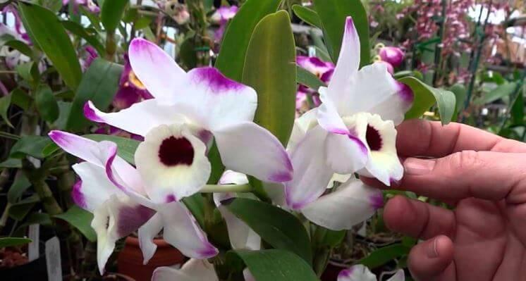 Орхидея на освещённом месте