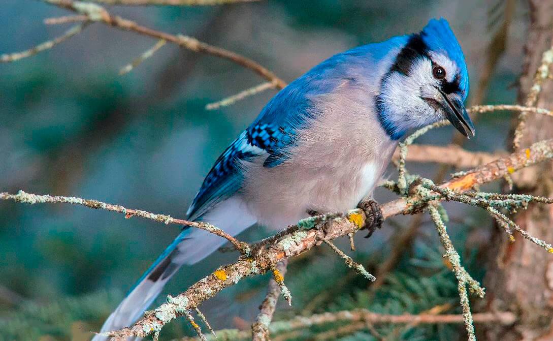 Убежище голубой сойки
