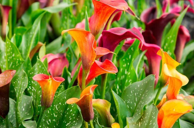 Красные цветы Calla