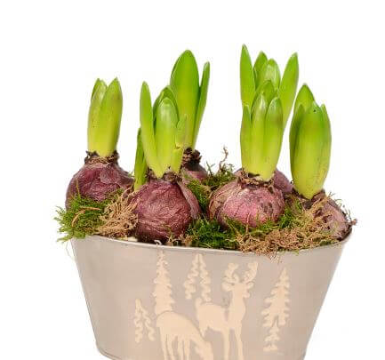 Луковицы в вазоне с грунтом