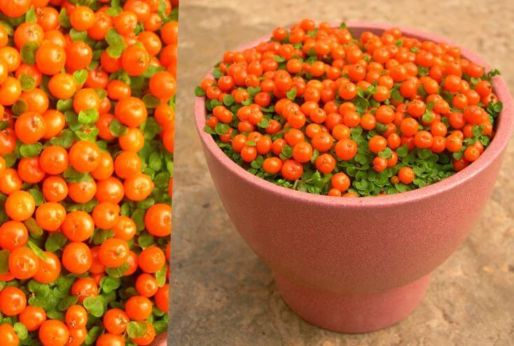 Фото почвопокровной ягоды