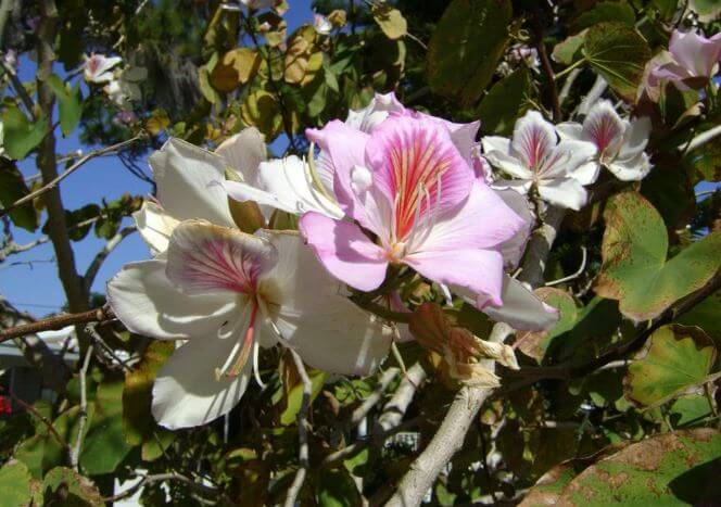 Цветок орхидейног дерева