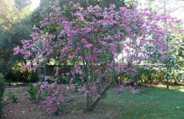 Выращивание орхидейного дерева в домашних условиях