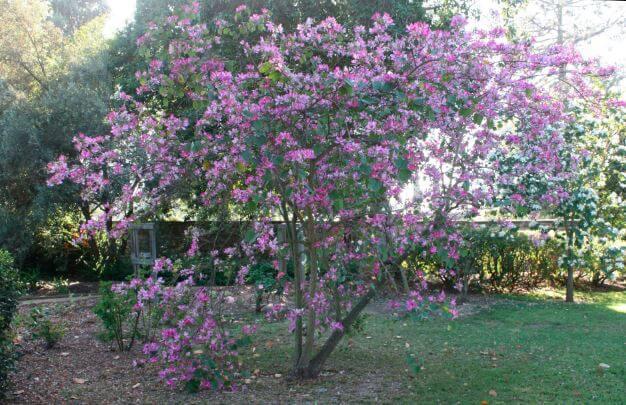Орхидейное дерево в саду