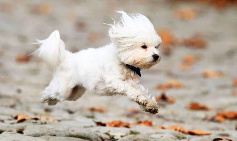 Отважный щенок мальтезе