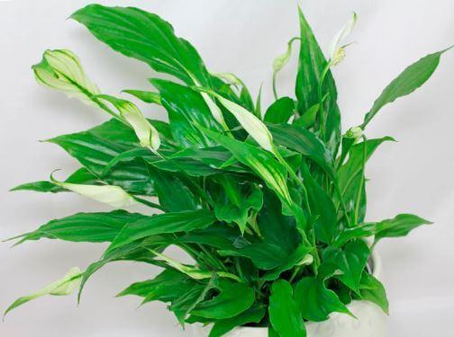Spathiphyllum wallisii хорошо растёт в тени