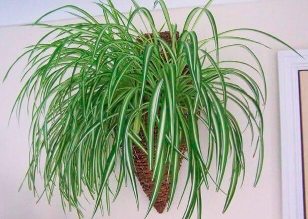 Chlorophytum comosum хорошо растёт в тени и на свету