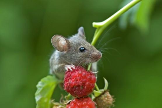 1512 У мышей найден ген смелости и ума