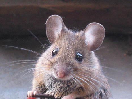 1513 У мышей найден ген смелости и ума