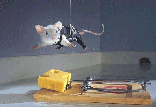 1514 У мышей найден ген смелости и ума