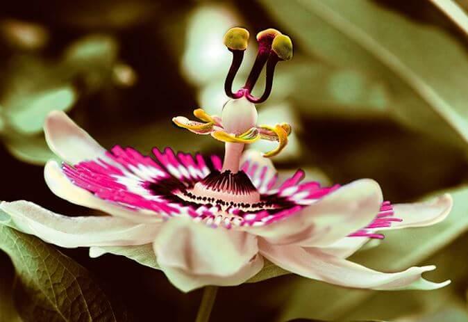 Цветок Passiflora
