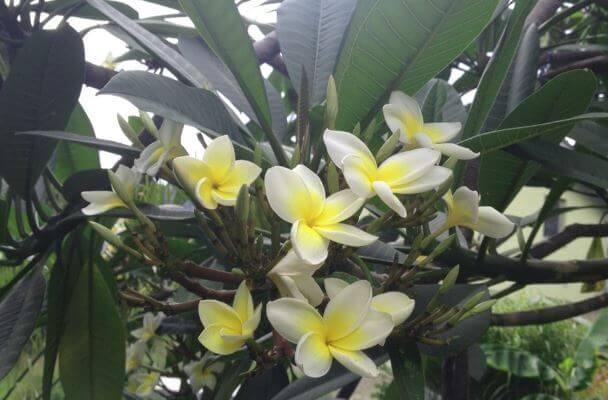 Франжипани в жёлтых цветах