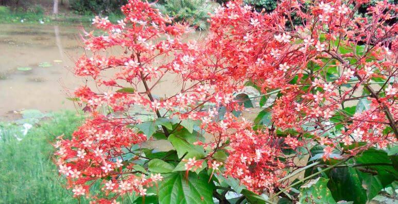 Садовое растение клеродендрум