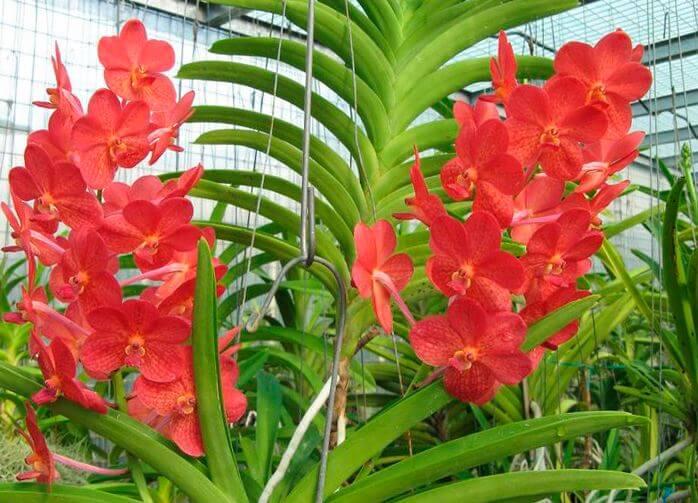 красные цветы орхидеи