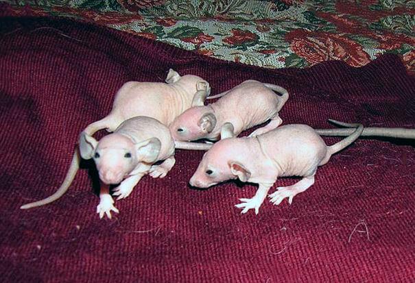 Малыши крысы сфинкс