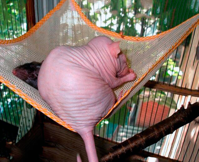 Крыса сфинкс фото