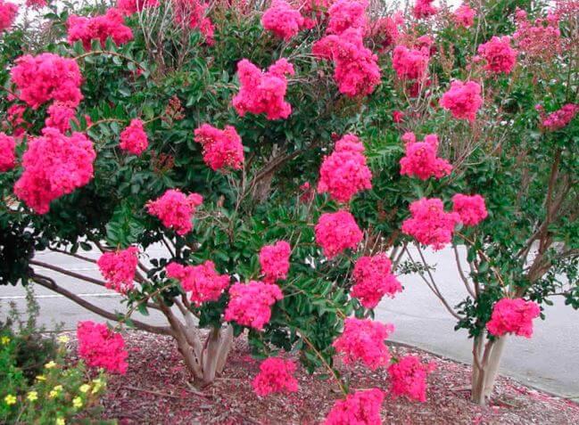 Куст лагерстрёмии усыпанный красными цветами