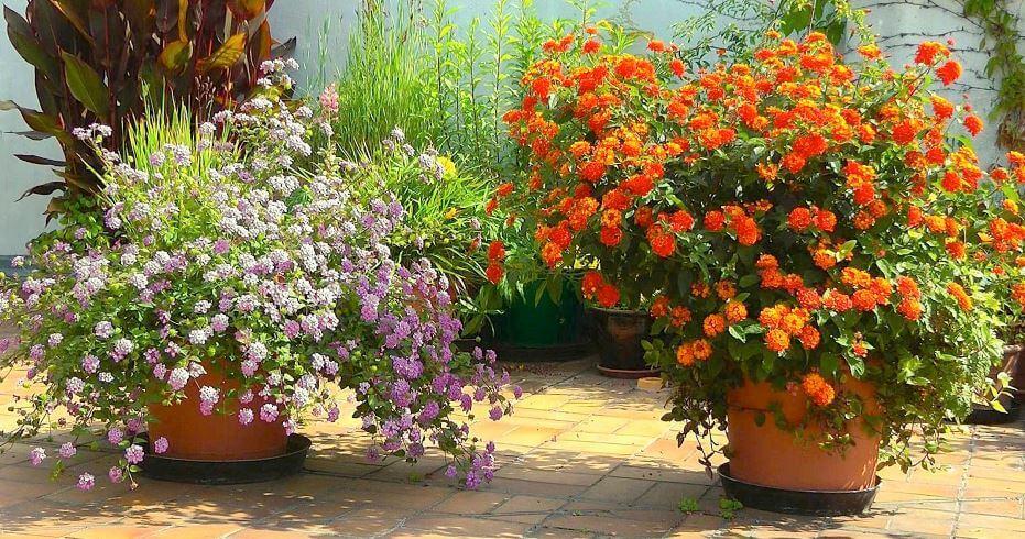 Lantana в саду