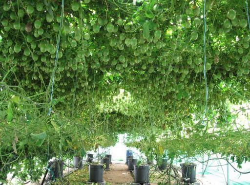 Passiflora в оранжереее