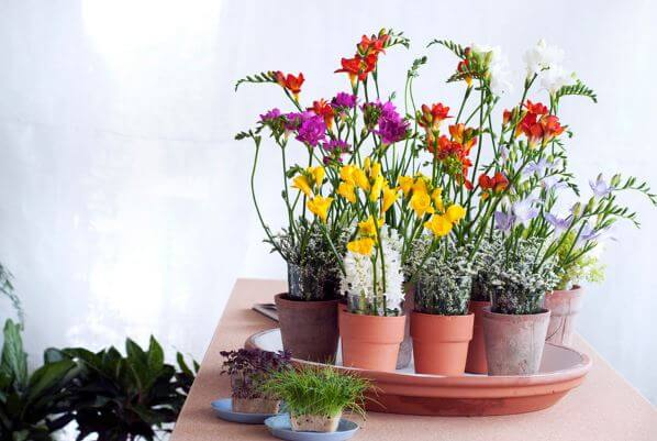 Разноцветные цветы Freesia