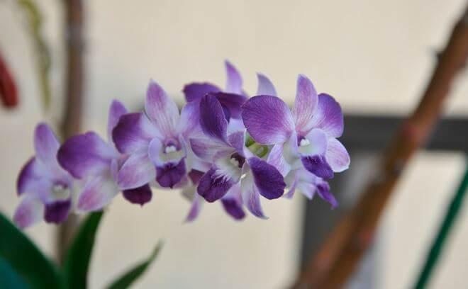orhideya dendrobium falenopsis 1 Дендробиум фаленопсис