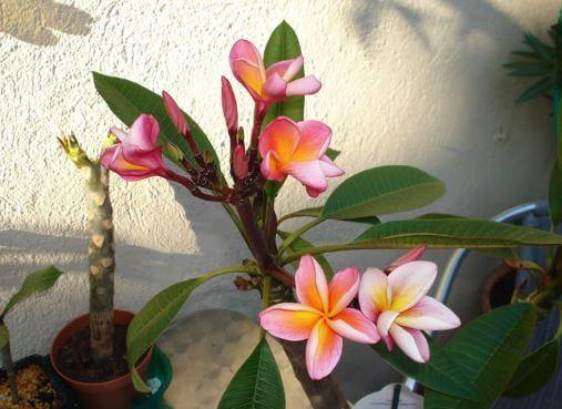 Розовые цветы плюмерии