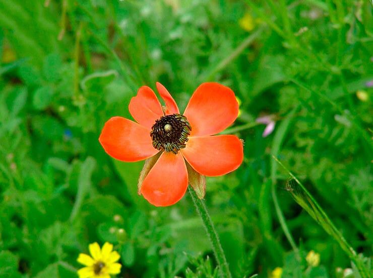 Фото Ranunculus