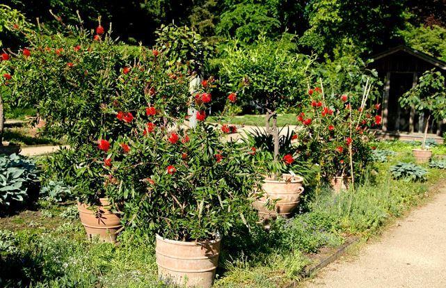 Вазоны с кустарником стоят в саду