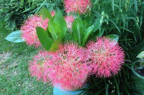 Scadoxus розовый