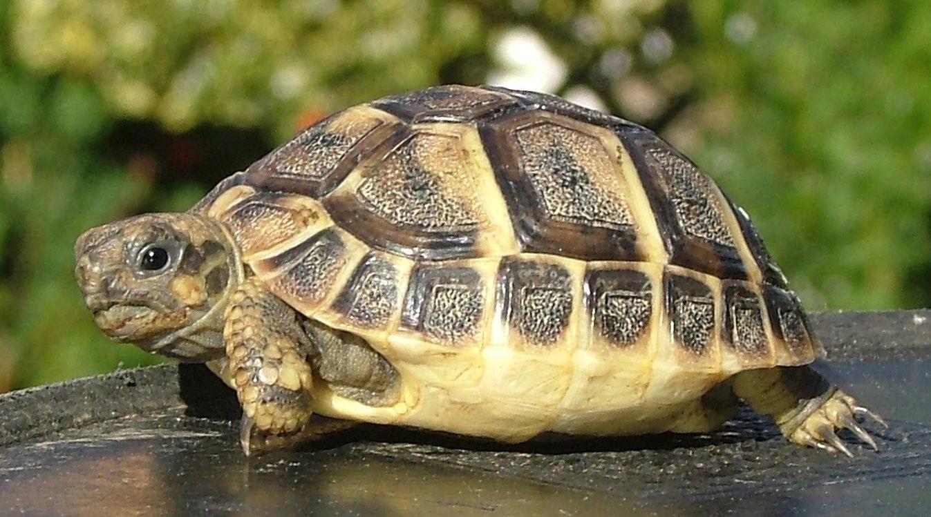 1412 Содержание балканской черепахи в террариуме