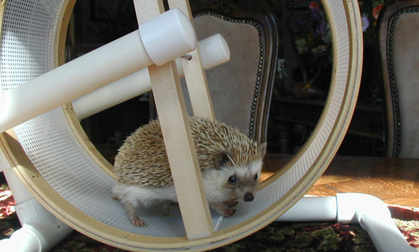 Ёж в беговом колесе фото