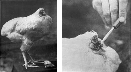 168 Исполнилось 70 лет со дня усечения головы легендарному цыпленку