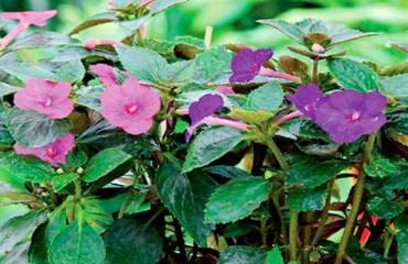 Ахименес. Уход и выращивание в домашних условиях
