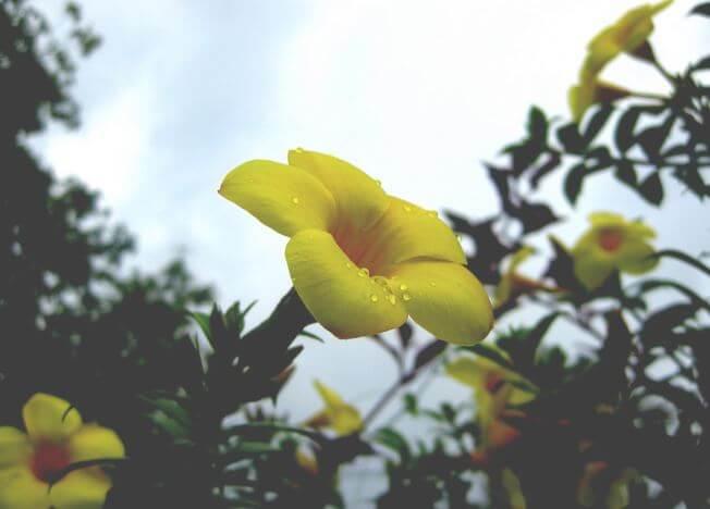 Алламанда в утренней росе