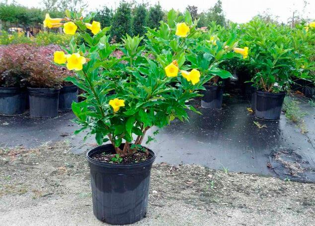 Выращивание алламанды в вазоне