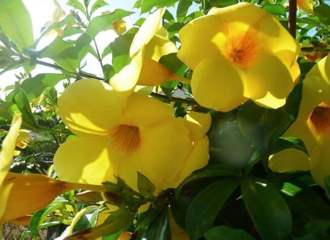 Жёлтые цветы Allamanda