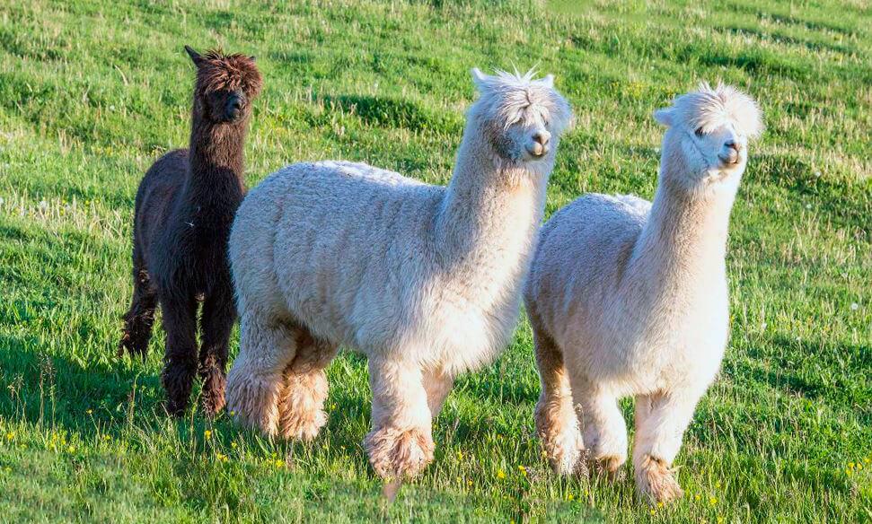 Прогулка альпаки по траве