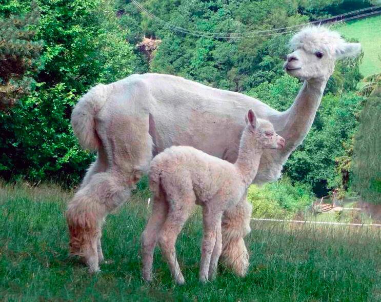 Самка альпаки с детёнышем