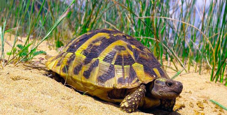Балканская черепаха фото