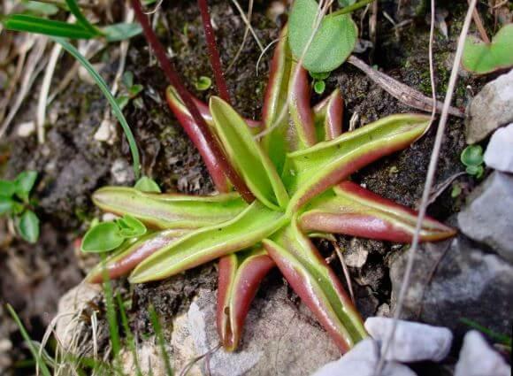 Растение хищник