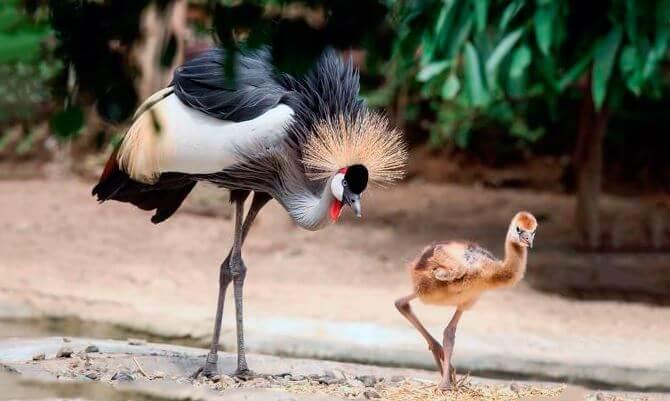 Семейка венценосных журавлей