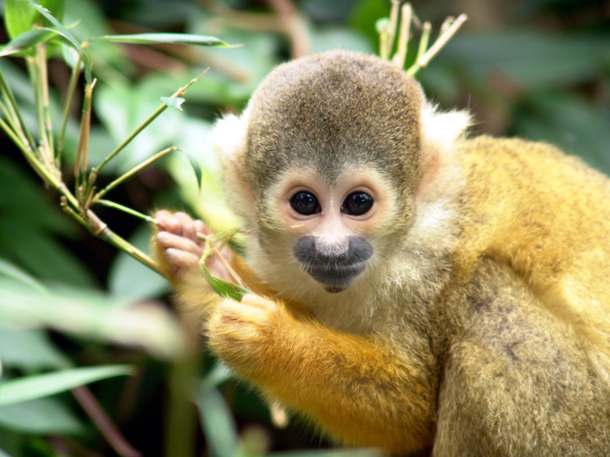 122 Обыкновенная беличья обезьяна