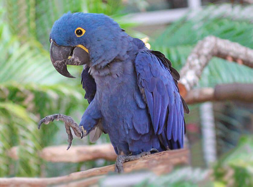 Гиацинтовый попугай фото