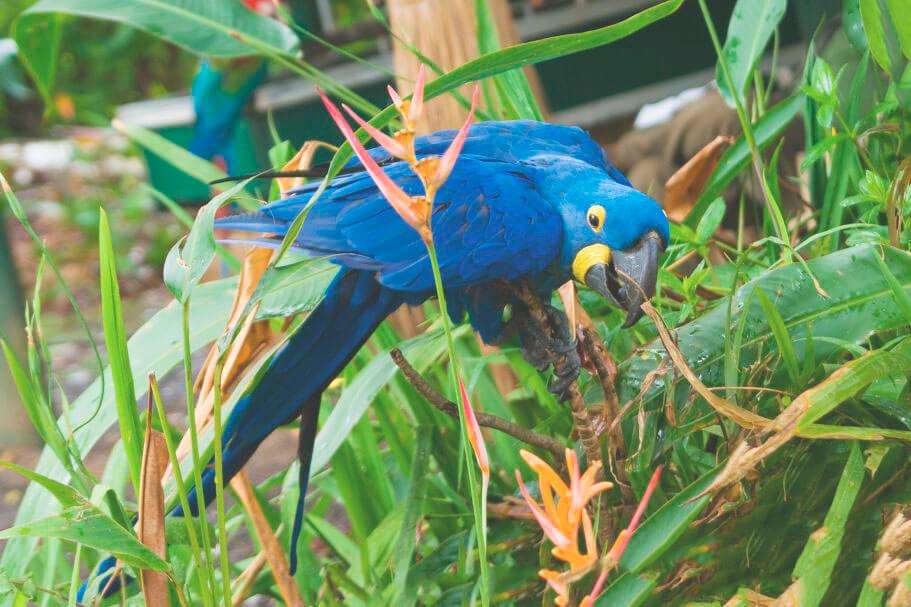 Гиацинтовый попугай на ветке
