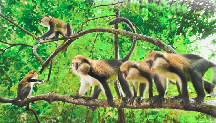 Группа мартышек мона