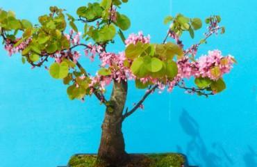 Как вырастить иудино дерево в домашних условиях