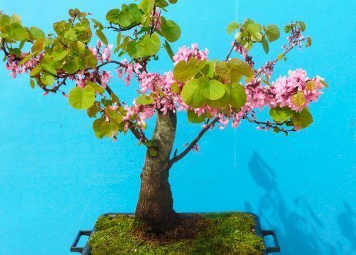 Иудино дерево фото