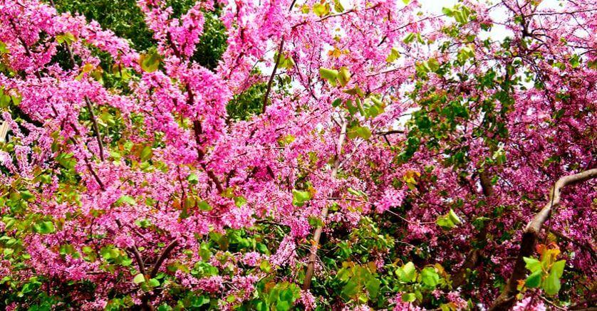 Цветущий багряник фото