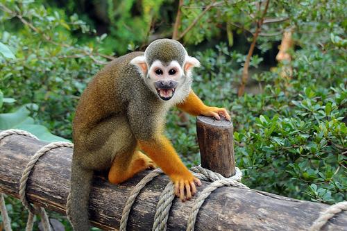 m111 Обыкновенная беличья обезьяна