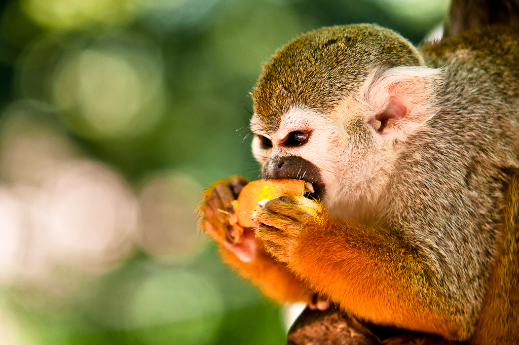 m23 Обыкновенная беличья обезьяна